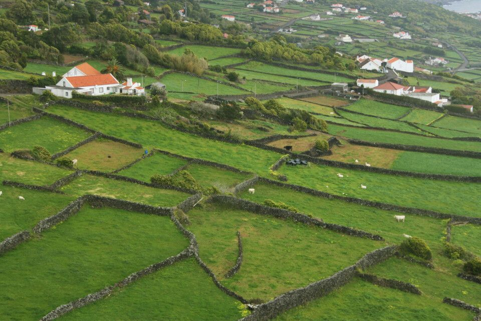 Rinderweiden prägen das Bild auf Pico und Fajal