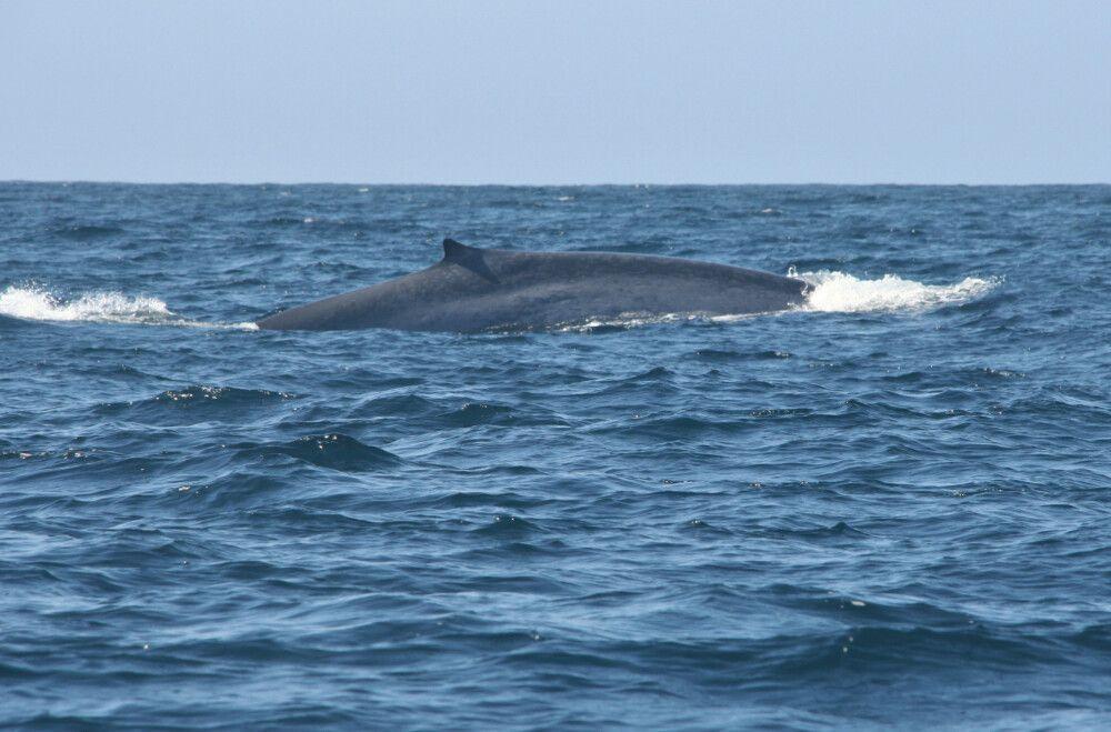 Blauwale kann man an der charakteristischen Zeichnung der Haut unterscheiden