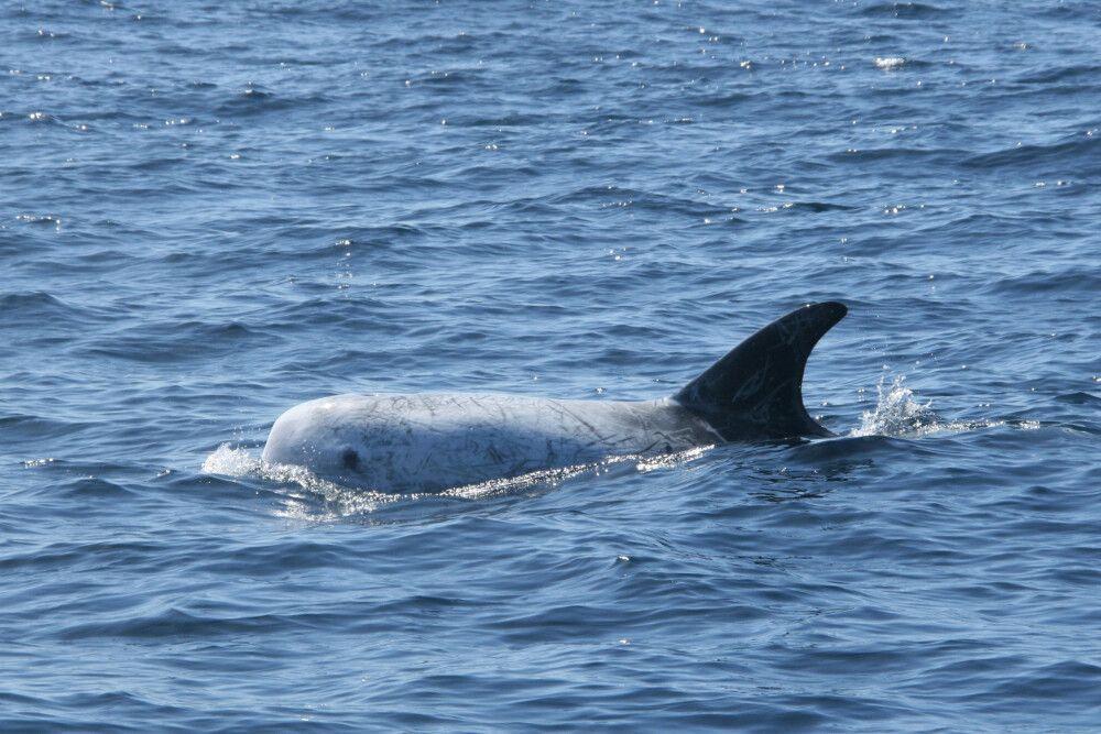 Die weiße Haut der Rundkopfdelfine entsteht durch Narben von Kämpfen mit Tintenfischen