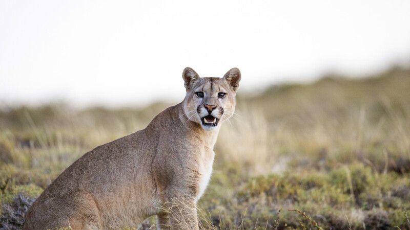 Auf Puma-Pirsch im Nationalpark Torres del Paine © Diamir
