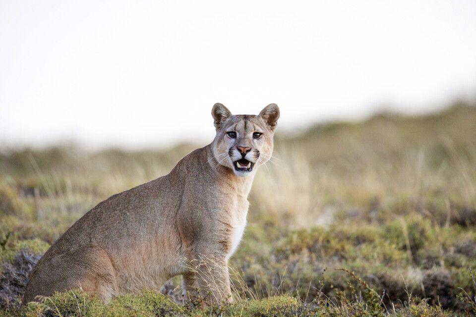 Auf Puma-Pirsch im Nationalpark Torres del Paine