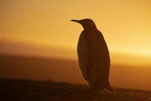 Pinguin-Silhouette in goldenem Licht