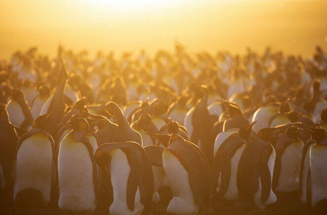 Sonneuntergangsstimmung in der Pinguin-Kolonie