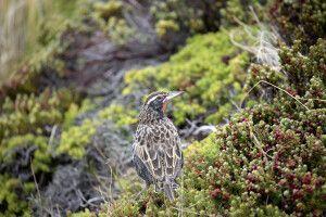 Nicht nur Pinguine: Stärling auf den Falkland Inseln