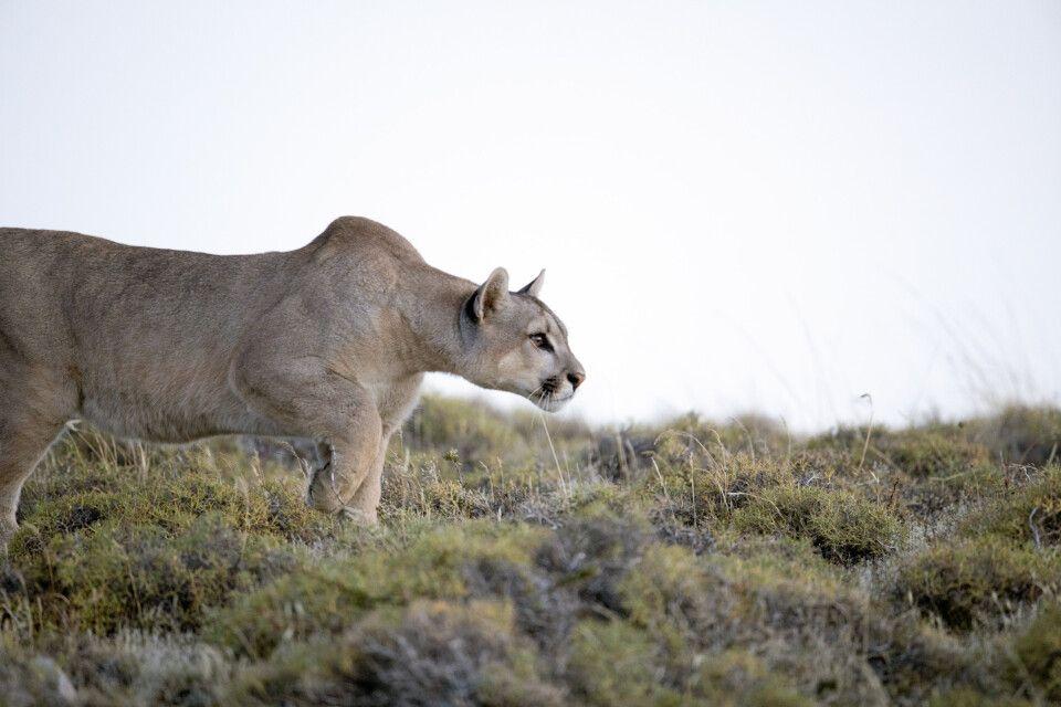 Einmalige Puma-Sichtung im Nationalpark Torres del Paine