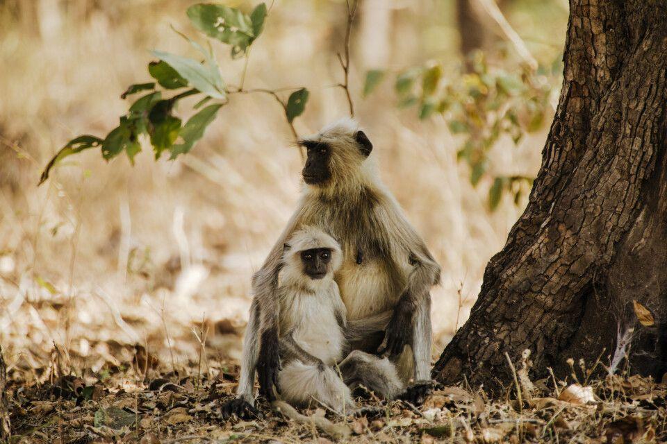 Pench, Tadoba-Nationalpark - Affen