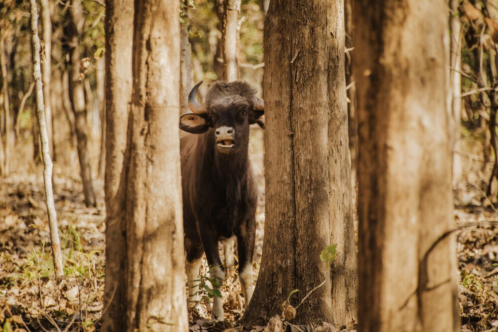 Pench, Tadoba-Nationalpark – Gaur