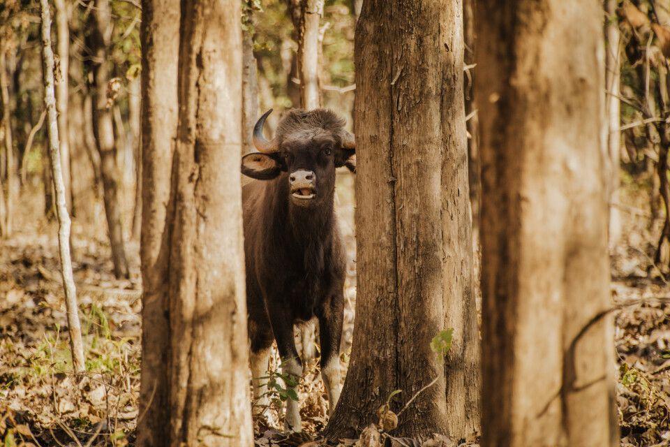 Pench, Tadoba-Nationalpark - Gaur