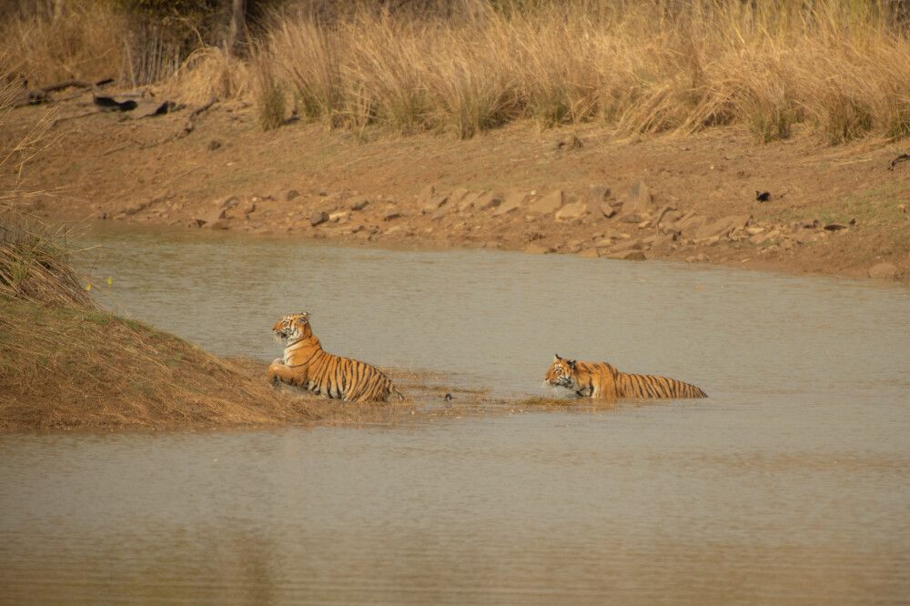 Pench, Tadoba-Nationalpark-Tiger