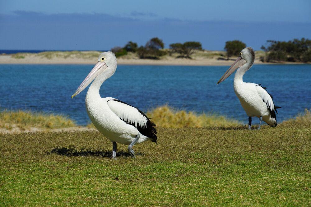 Australiens Tierwelt ist einzigartig und artenreich.