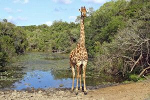 Giraffe im Addo-Elephant-Nationalpark
