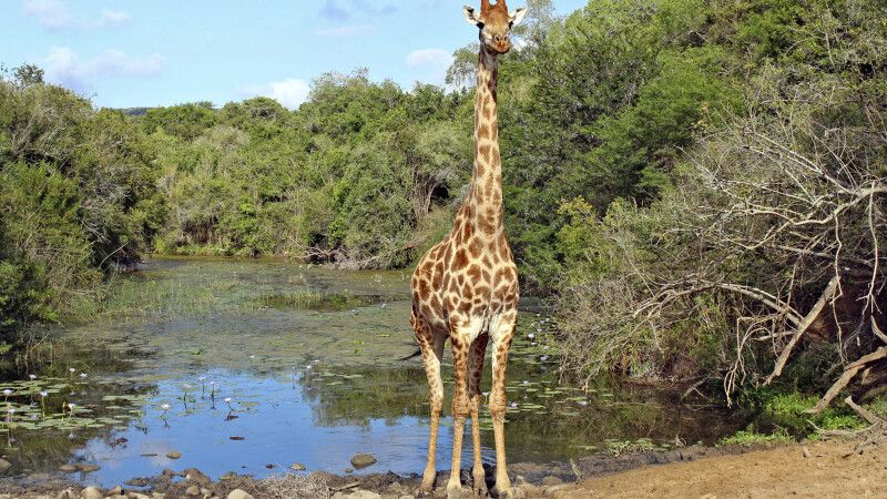 Giraffe im Addo-Elephant-Nationalpark © Diamir