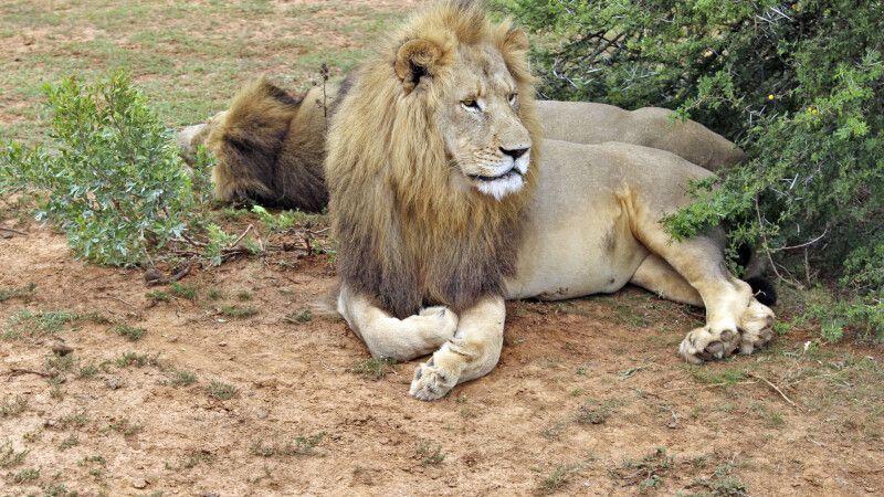 Majestätisches Löwenmännchen © Diamir