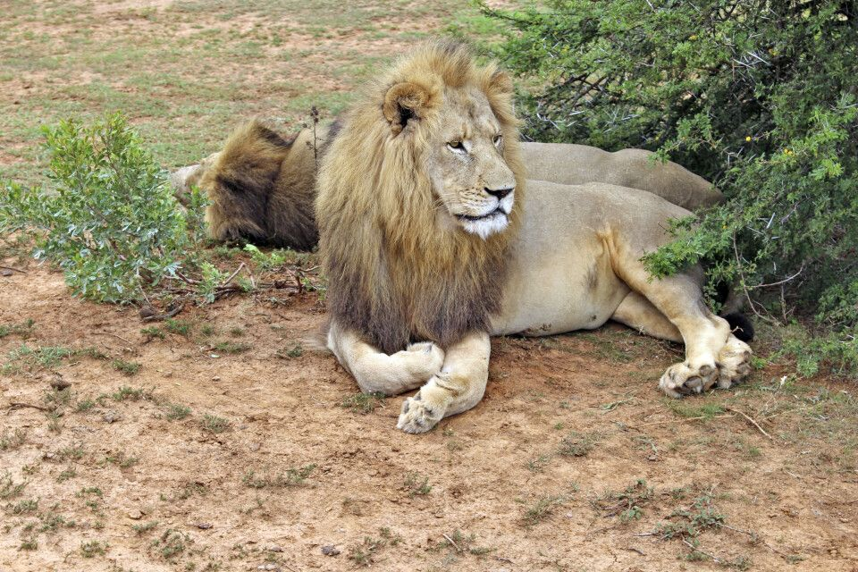 Majestätisches Löwenmännchen