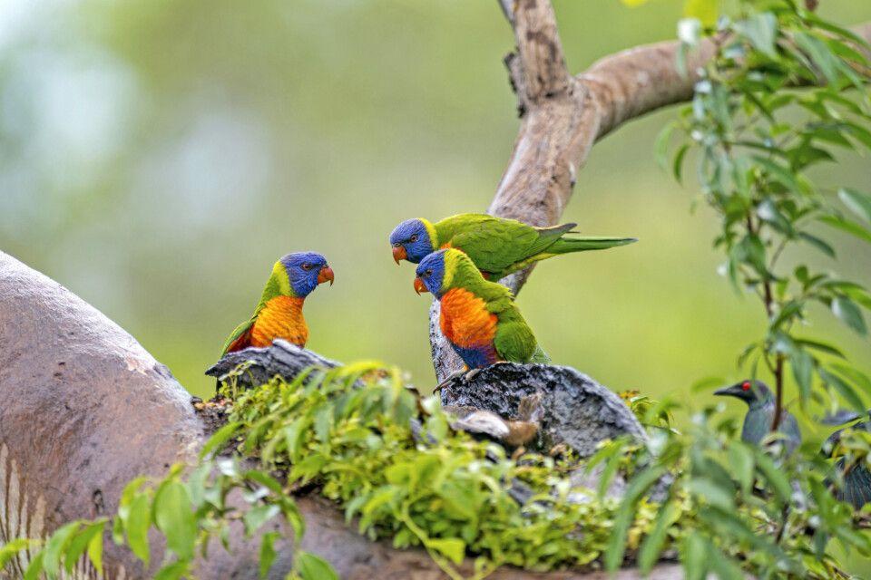 Loris im Regenwald von Queensland