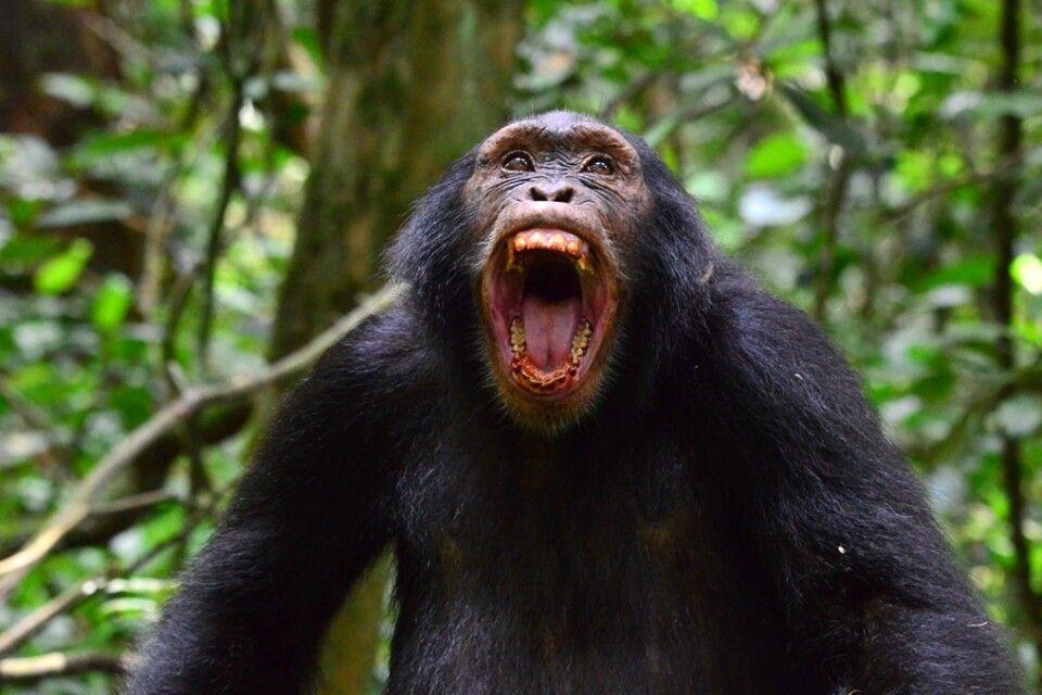 Schimpanse in Aufruhr