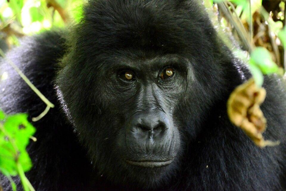 Der Blick eines Berggorillas macht Eindruck