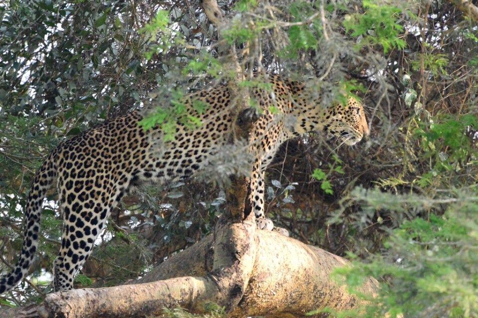 Leopard im Geäst eines Baumes