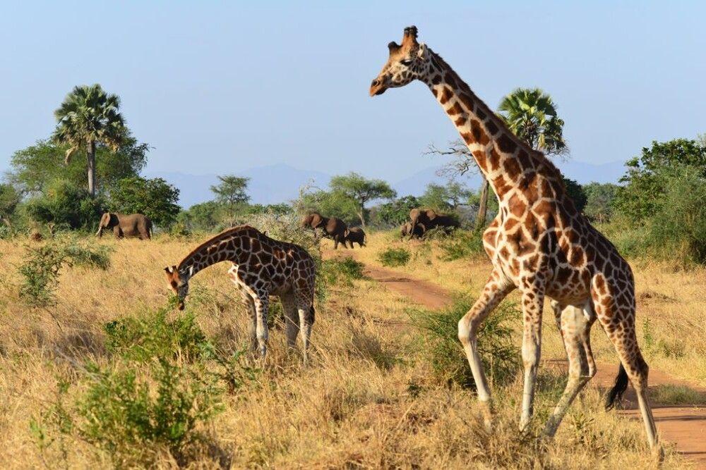 Elefanten und Giraffen auf Safari