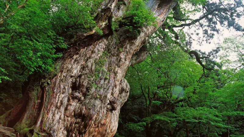 mystischer Zedern-Urwald auf der Insel Yakushima (UNESCO) © Diamir