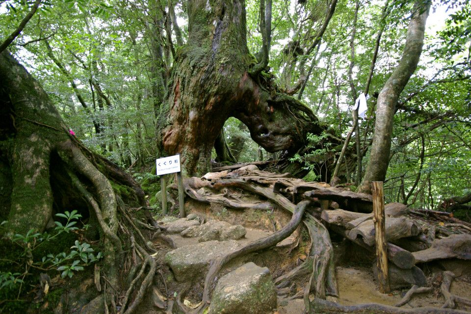 mystischer Zedern-Urwald auf der Insel Yakushima (UNESCO)