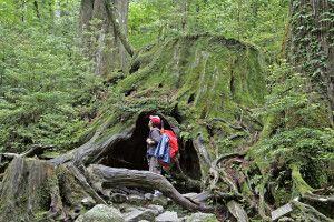 Mystischer Urwald auf Yakushima
