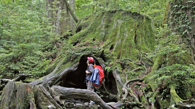 Mystischer Urwald auf Yakushima © Diamir