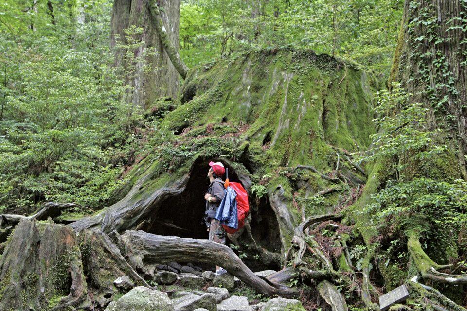 Mystischer Urwald auf Yakushima (UNESCO)