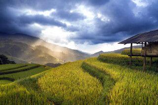 Goldene Reisfelder in Vietnam