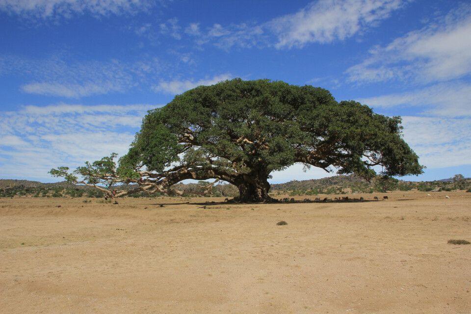 Alter Feigenbaum im Syccamores-Tal