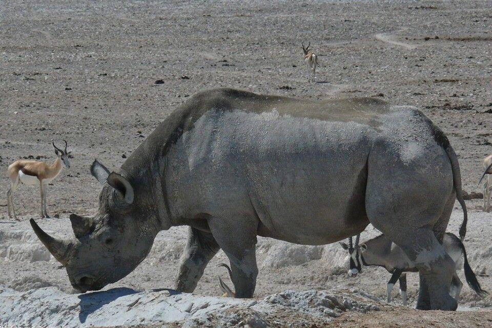 Der Etosha-Nationalpark dient als wichtiges Schutzgebiet des Spitzmaulnashorns
