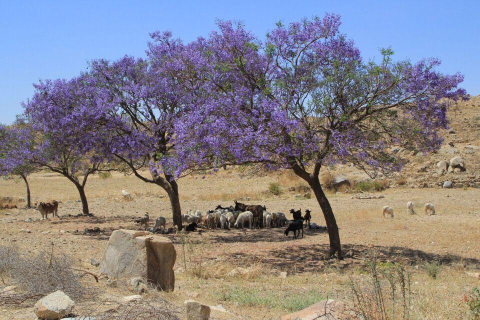 Jacarandabaum bei Asmara