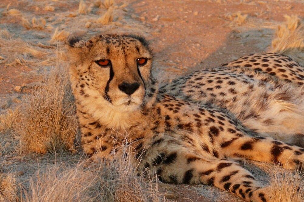 Ein Leopard genießt die Abendsonne