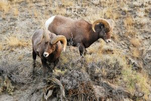 Bighorn-Schafe, Yellowstone-Nationalpark, Wyoming