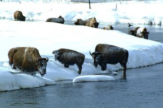 Bison im winterlichen Yellowstone National Park, Wyoming