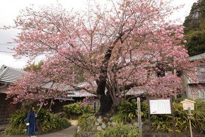 Blühender Kirschbaum Anfang Februar auf der Izu-Halbinsel bei Tokio