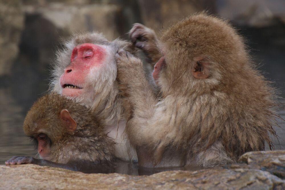 Fellpflege der Affen im Jigokudani Monkey Park – Nagano