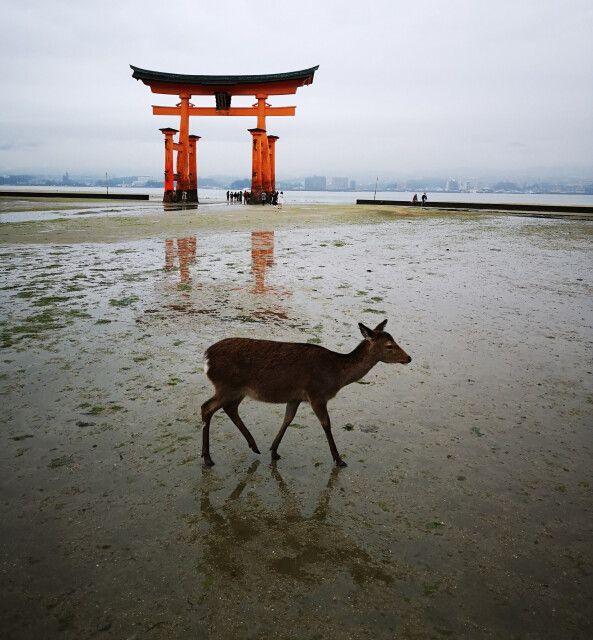 Das Torii in Miyajima mit einem freilaufenden Reh im Vordergrund