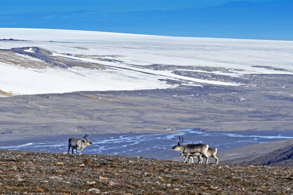 Kleine Gruppe Rentiere in Spitzbergen