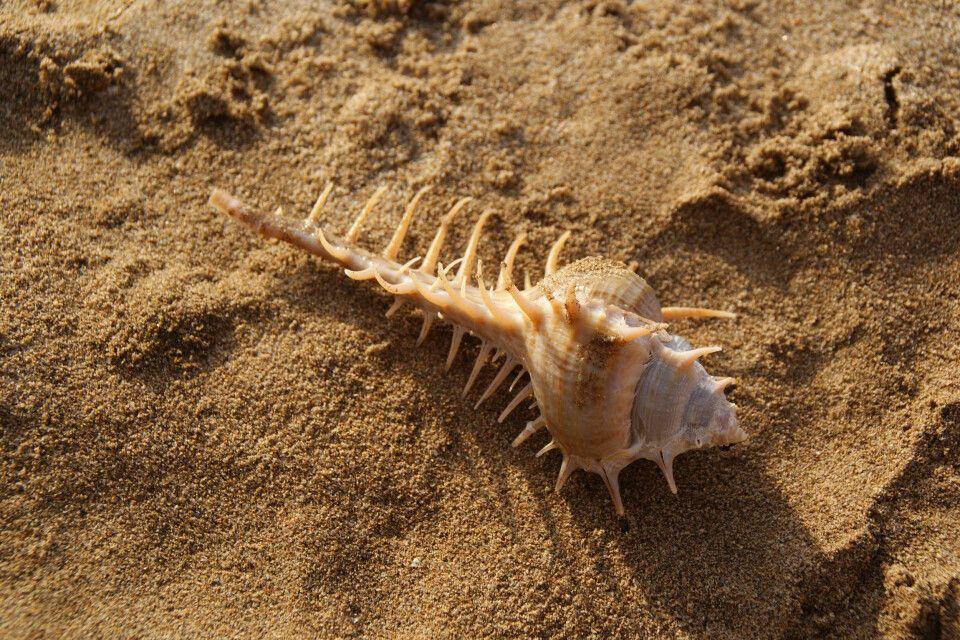 hübsche Muschel am Strand