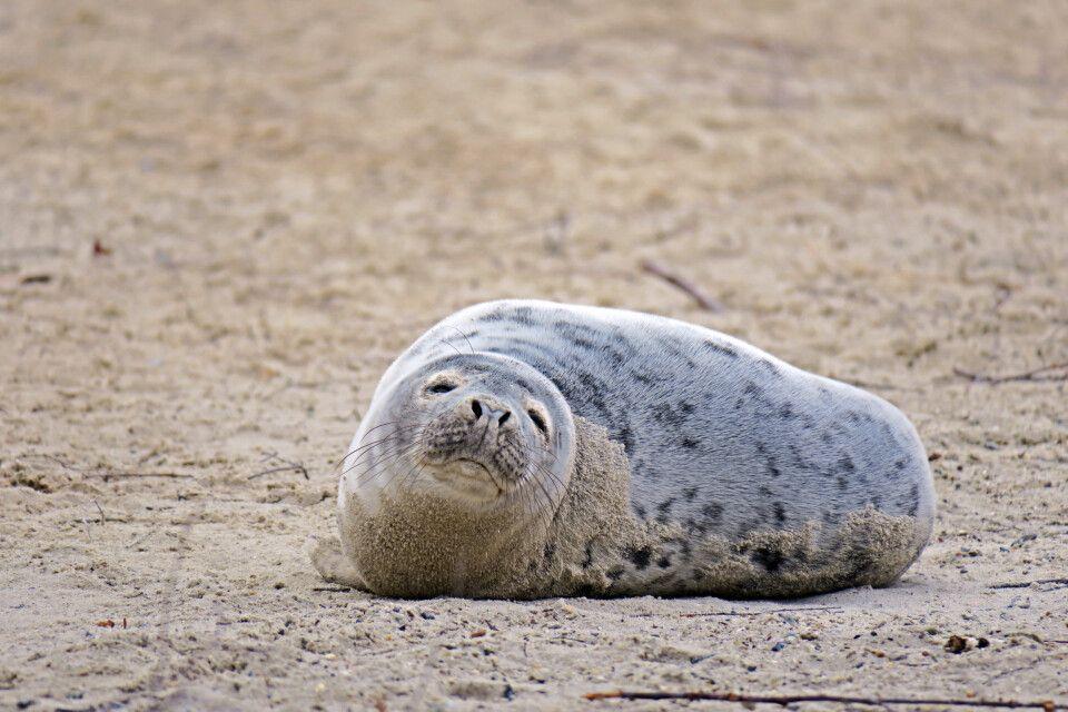 Junger Seehund am Strand von Düne, Helgoland