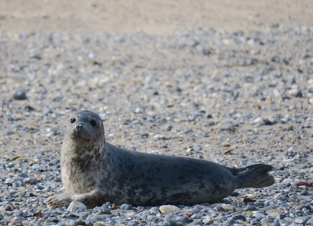 Am Strand findet man sowohl Kegelrobben als auch Seehunde
