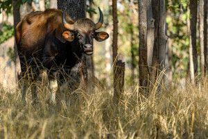 Gaur, auch indischer Bison genannt