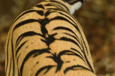 Fellzeichnung des Bengalischen Tiger