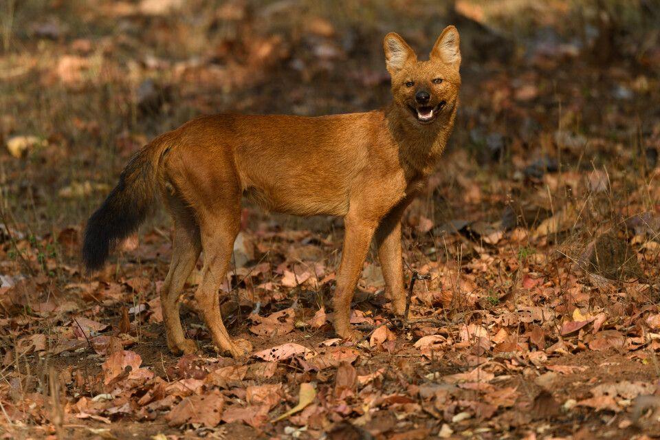 Dhole bzw. Rothund, auch asiatischer Wildhund genannt