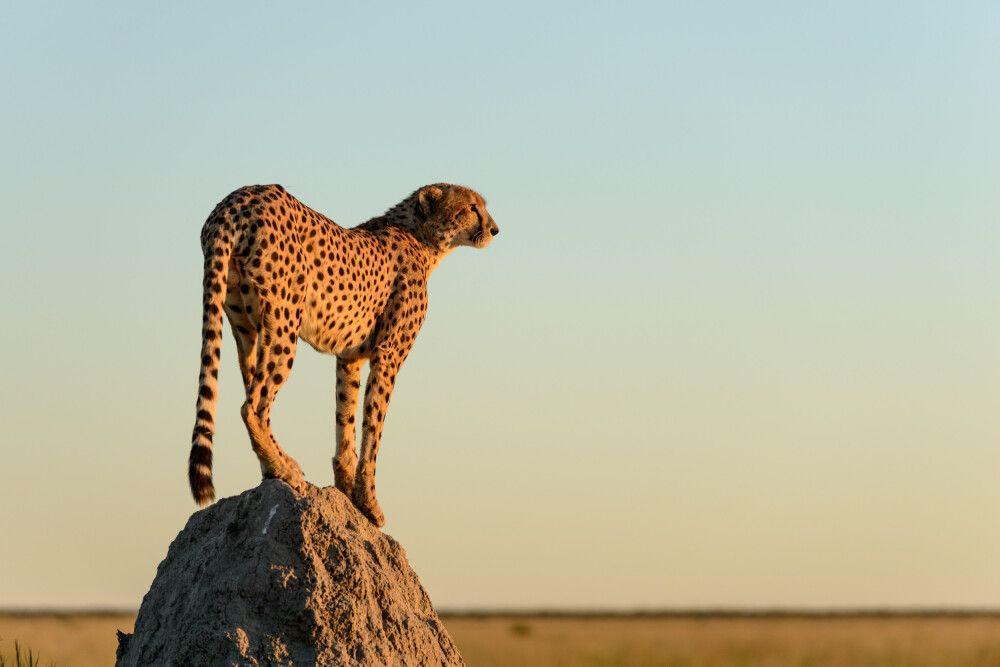 Gepard auf einem Termitenhügel, Savuti, Chobe National Park, Botswana