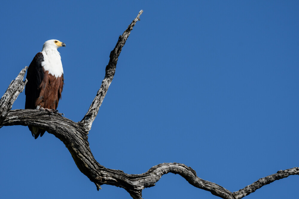 Schreiseeadler, Moremi Game Reserve, Okavango-Delta, Botswana