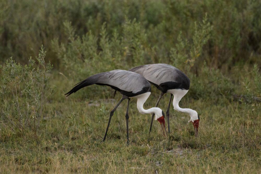 Klunkerkraniche bei der Nahrungssuche, Moremi Game Reserve, Okavango-Delta, Botswana