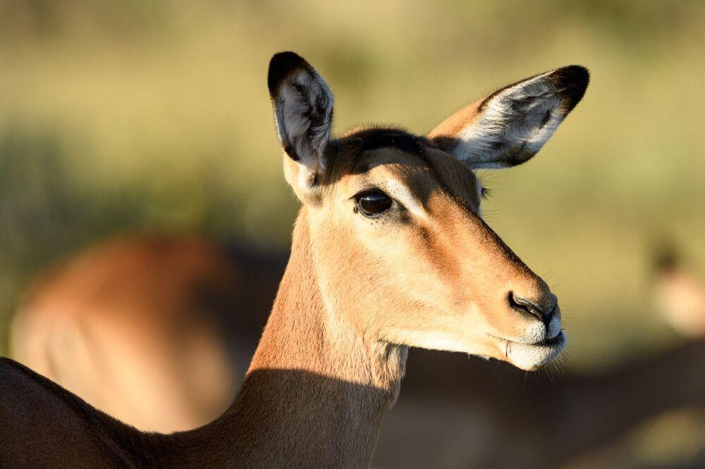 Impala im Morgenlicht, Savuti, Chobe National Park, Botswana