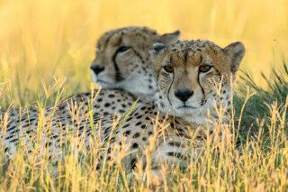 Schnelle Katzen im Doppelpack: Die beiden Geparden ruhten auf einem Termitenhügel in Savuti